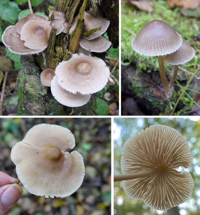 Notice the wide central umbo and the conical appearance of the younger specimen. Bottom right: cross veining on the gills.