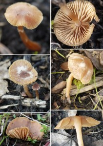 Tubaria mushroom