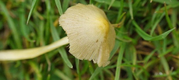 Yellow cap of small mushroom in grass