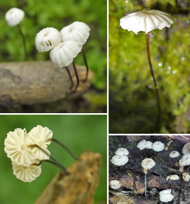 Marasmius rotula image collection