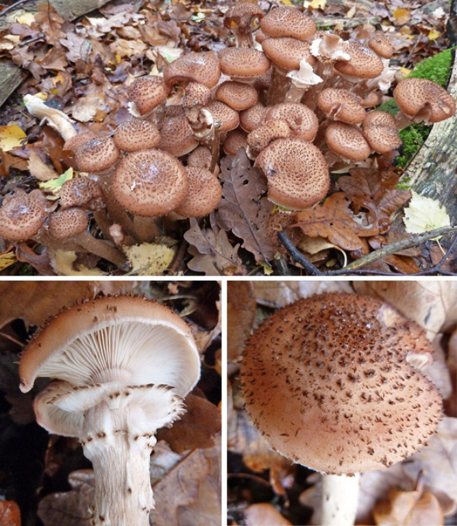 Images of Armillaria ostoyae