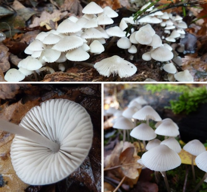 Mycena arcangeliana image selection