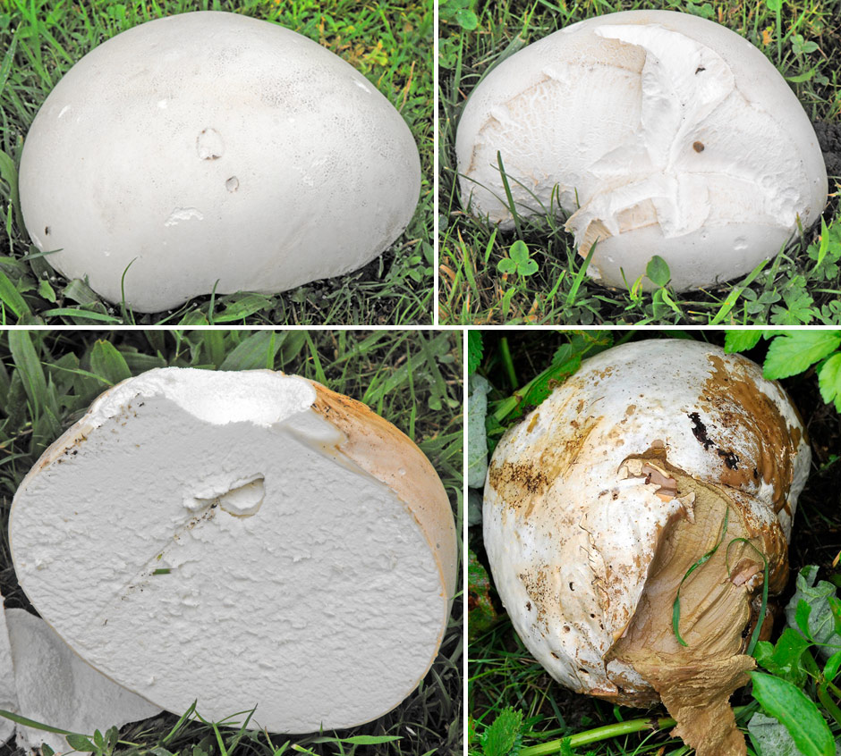 Giant Puffball image identification