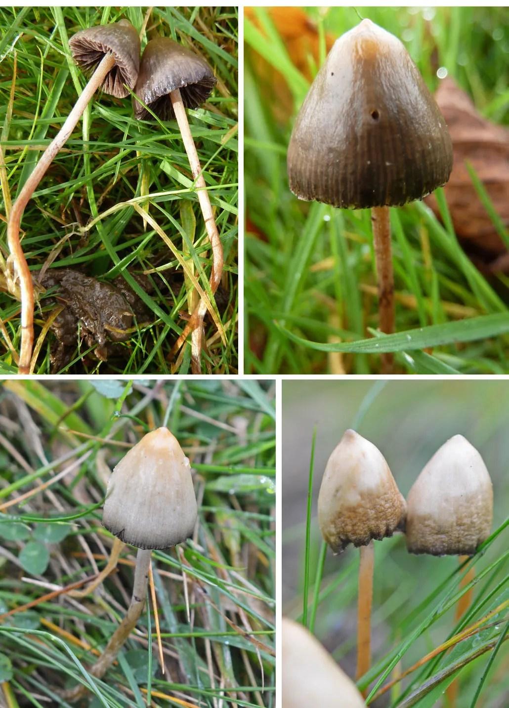 The Notorious Magic Mushroom The Mushroom Diary Uk Wild Mushroom