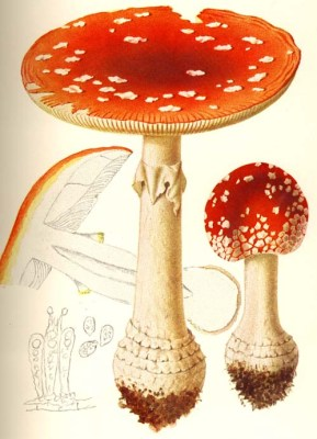 Amanita muscaria Illustration from Giacomo Bresadola's Iconographia mycologica (1927)