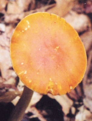 Amanita flavoconia cap Photo by Leon Shernoff