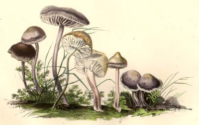 Mycena pura, by Mrs. T.J. Hussey