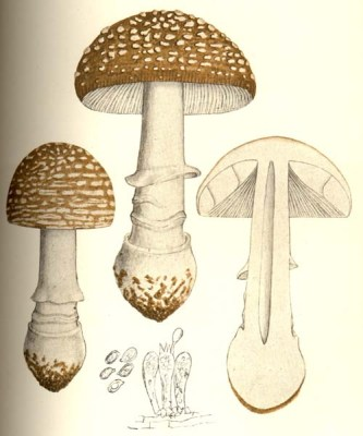 The European Amanita pantherina Illustration from Giacomo Bresadola's Iconographia mycologica (1927)