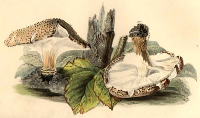 Echinoderma asperum, showing its upward-sweeping armilla. Illustration by Anna Maria Hussey