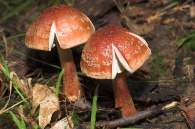 Amanita rubescens, shading red in age in an unusually even manner. Photo by John Denk