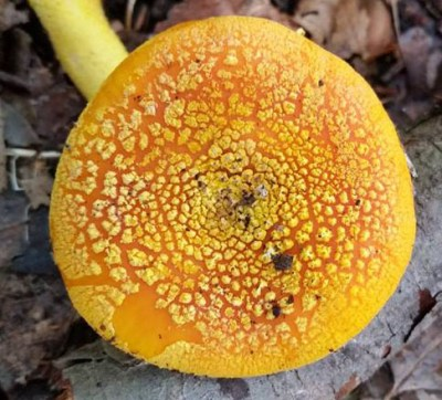 Top of Amanita frostiana Photo by Fab Bordo