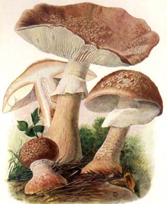 "The European A. rubescens, the edible ""perlenpilz"" (pearl-mushroom) Illustration from Eugen Gramberg's Pilze userer Heimat (1936)"