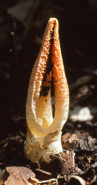 Pseudocolus fusiformis