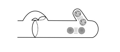 Both cell nuclei divide, and one moves into the hook cell