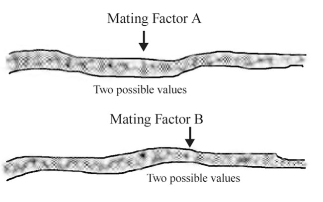 Typical fungal mating-factor genes: two locations, with two possible values at each location.