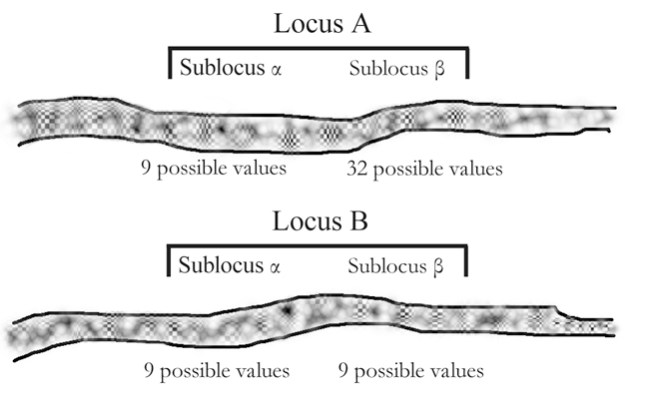 Schizophyllum mating system: two sub-loci at each mating locus, and 9-32 possible values at each sublocus.