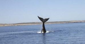 balena in immersione