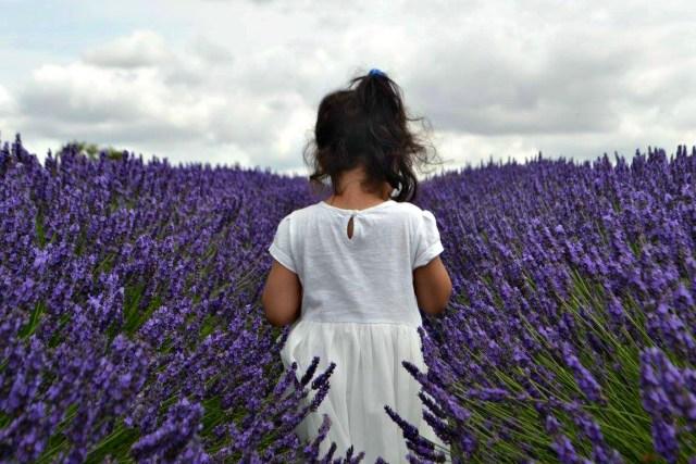 Hitchen Lavender Fields