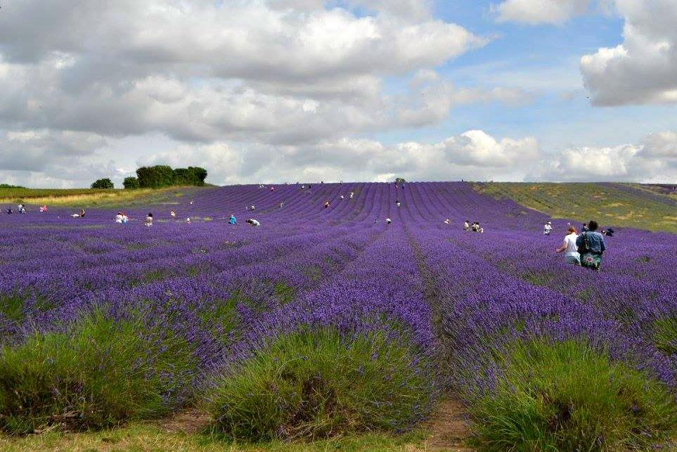 Hitchen Lavender