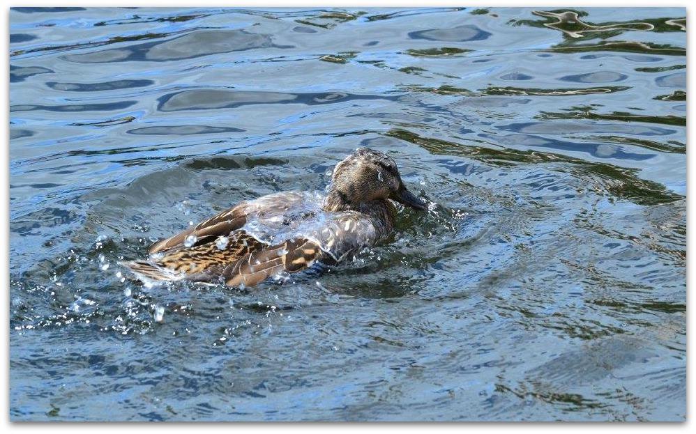 Duck at Drayton Manor