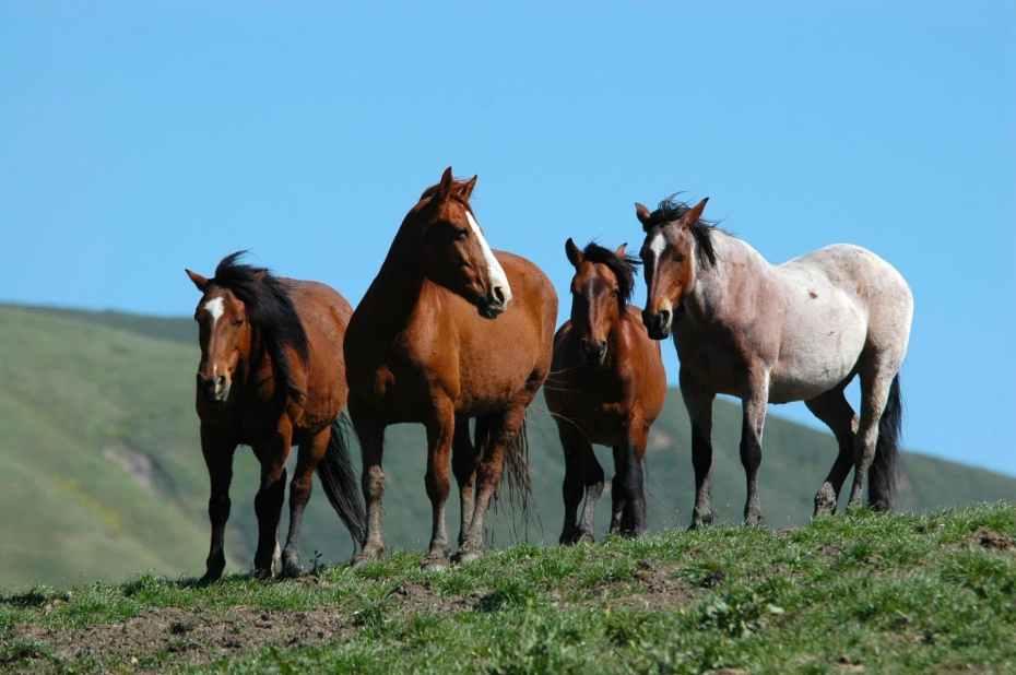 Saving Americas Mustangs 1