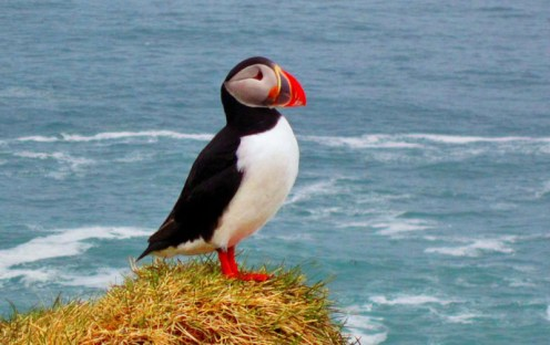 Puffins will root you on your hiking tour.