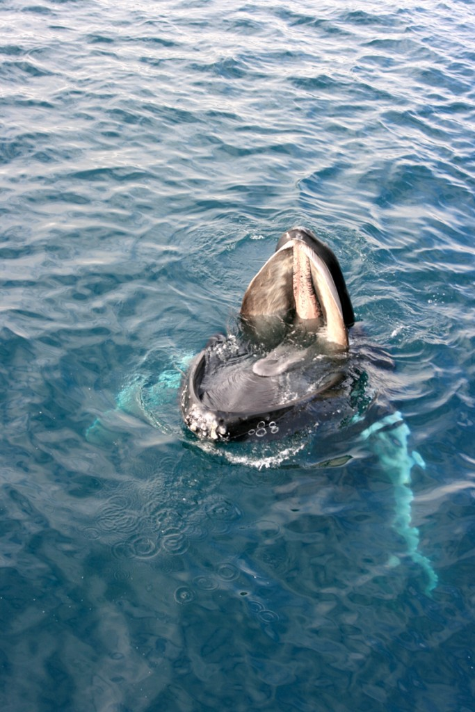humpback-with-open-mouth