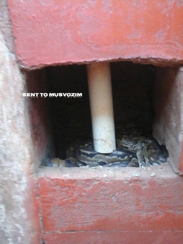 Videos  Snake In Warren Park  Musvo Zimbabwe-1238