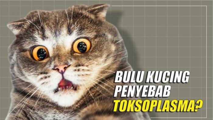 Apakah itu toxoplasma? Bagaimana mengobatinya? - Agarillus Series