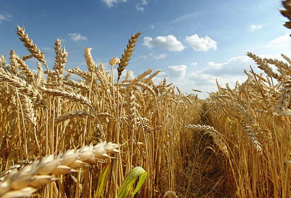 Buğday Oyunları ve Diyabet