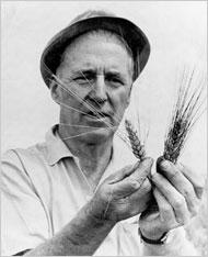 Buğday Tarlasında ve Buğday başakları