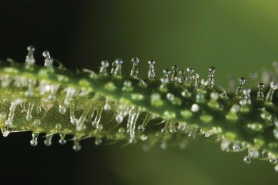 Yeni bulgular Kenevirin En Etkili Tıbbi Bitki Olduğunu Gösteriyor!