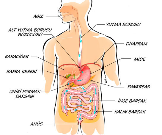 Sindirim Sistemi Organlarını gösteren görsel