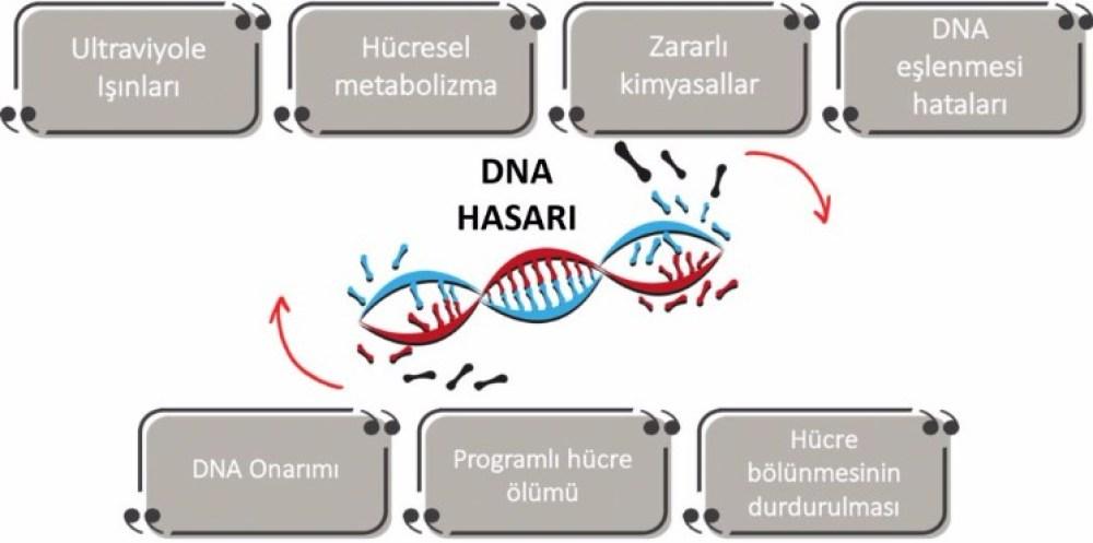 Kanser ve DNA hasarları