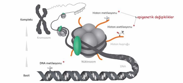 Epigenetik ve kanser