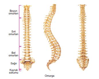 bel ağrısı insan omurga iskelet