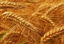 Buğday ve Multipl Skleroz(MS)