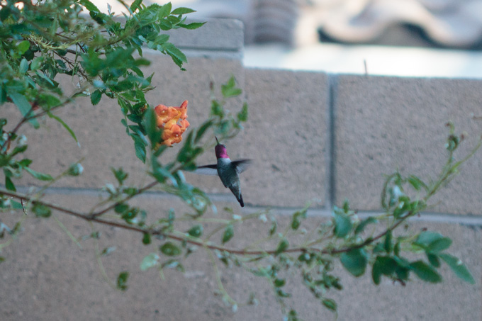 Pink-headed hummingbird hovering by flowers