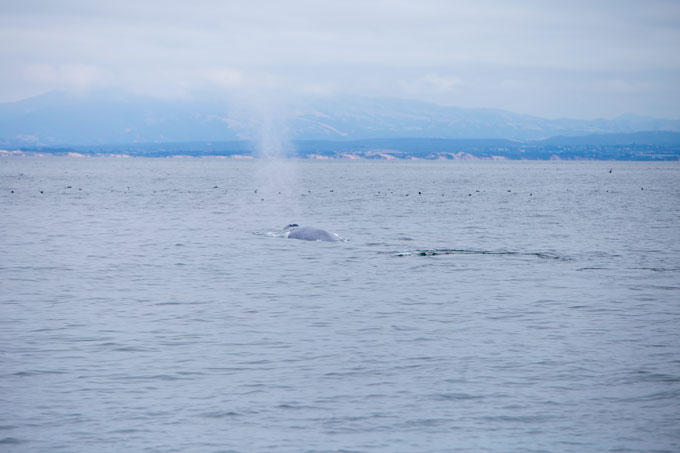 Northern California blue whale spout and body in Monterrey Bay