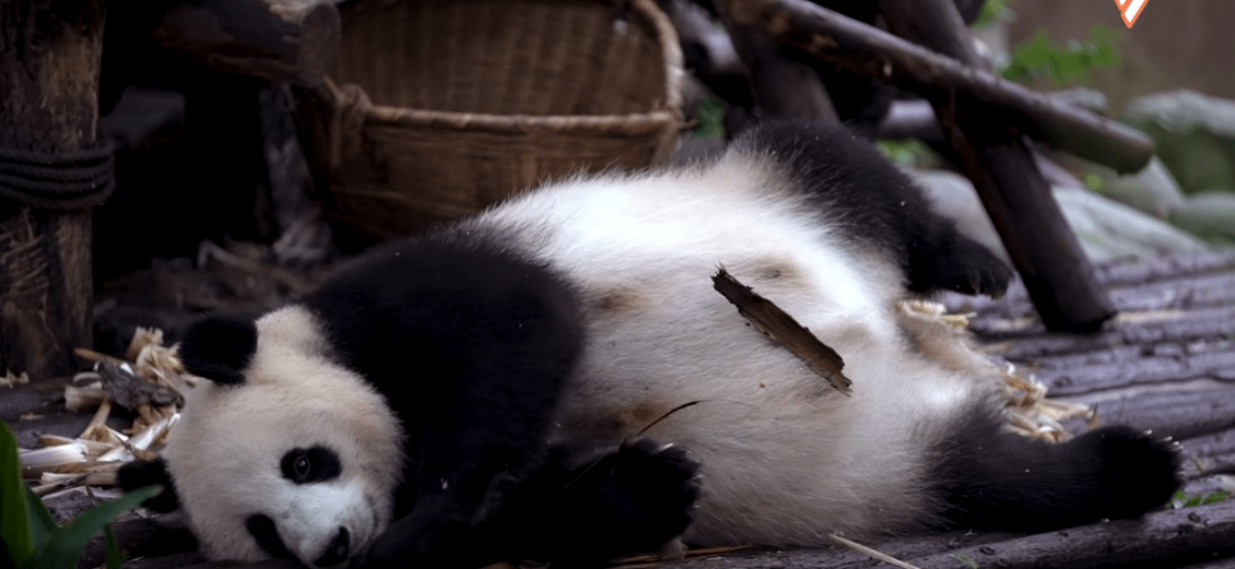 muxetv Goldthread - How Pandas Are Cute Friends and Diplomatic Agents