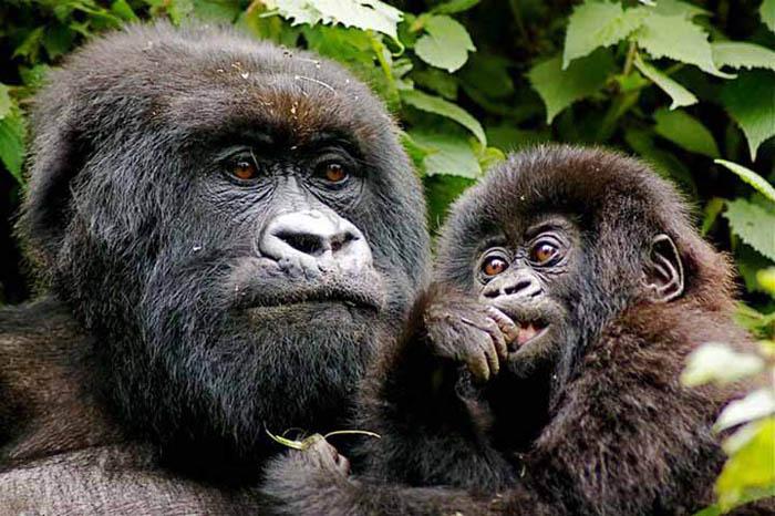 Virunga Lodge Rwanda. luxury gorilla tracking. Volcanoes Safaris