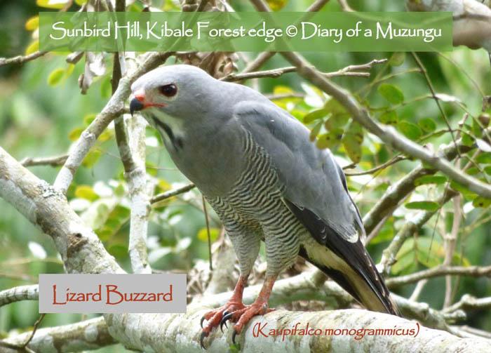 Lizard Buzzard. Sunbird Hill, Uganda. Charlotte Beauvoisin