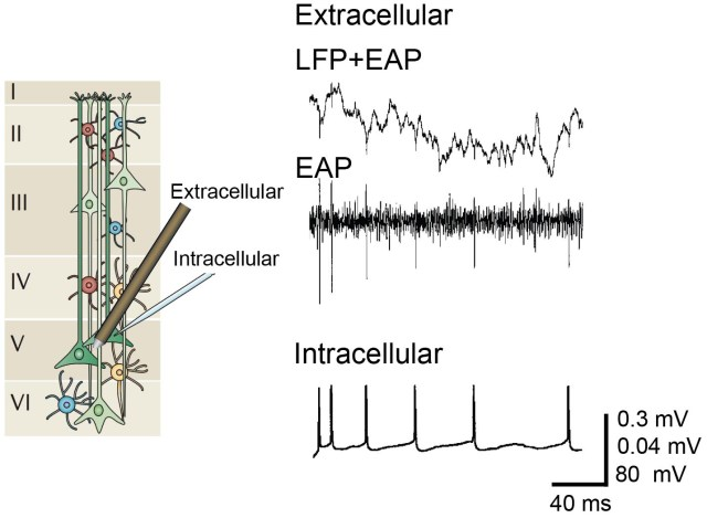 EAP_LFP_MicroelectrodeArrays