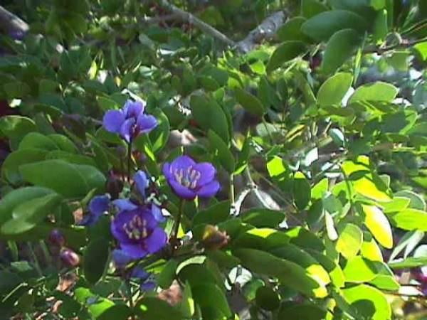 The Jamaica National Flower The Lignum Vitae