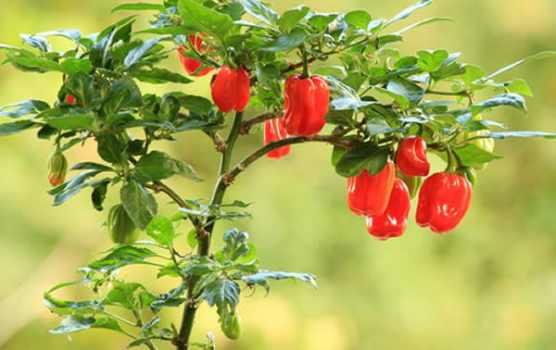 coltivare i peperoni in vaso
