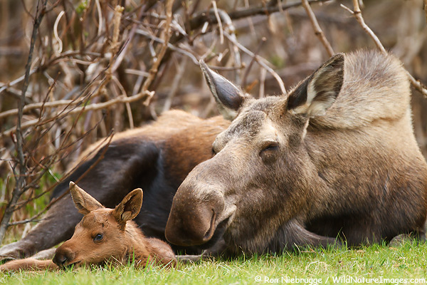 Cow and calf moose, Chugach National Forest, Alaska.
