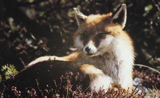 Andorran Fox
