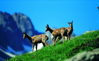 Andorran Deers