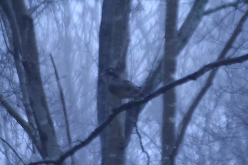 Wood Duck Female in a Tree