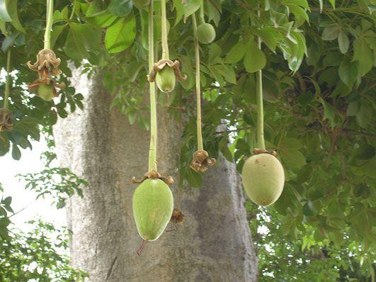 SANTE/ le baobab une ressource aux multiples usages